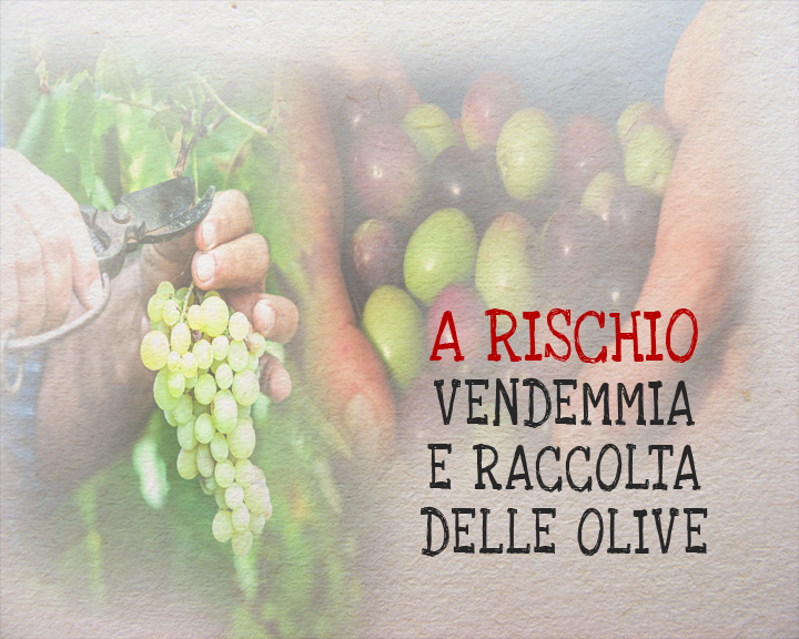 vendemmia e raccolta olive