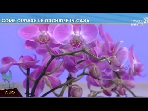 Come curare le orchidee in casa bel tempo si spera for Orchidee in casa