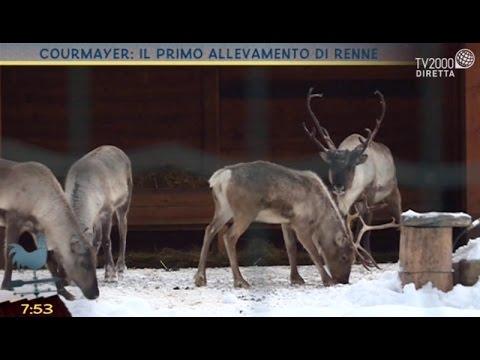 Courmayer: il primo allevamento di renne