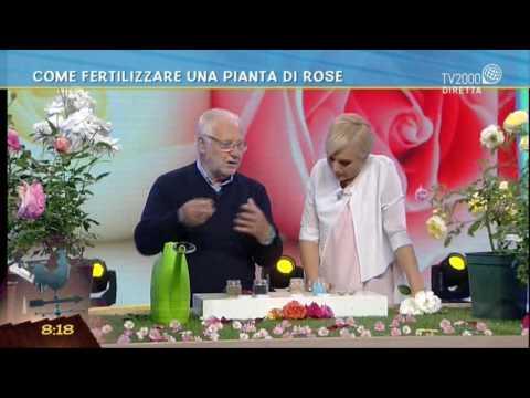 Come fertilizzare una pianta di rose